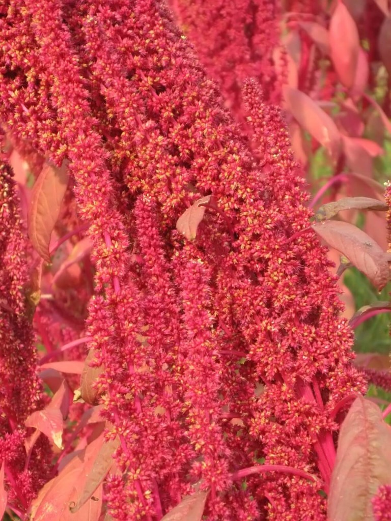 red-plants-1183400 (1)